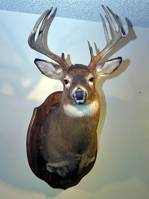 whitetail deer shoulder mount for sale