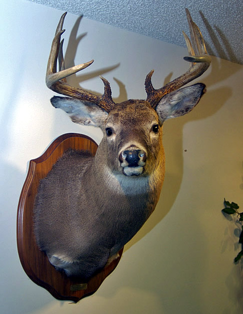 deer head mount for sale