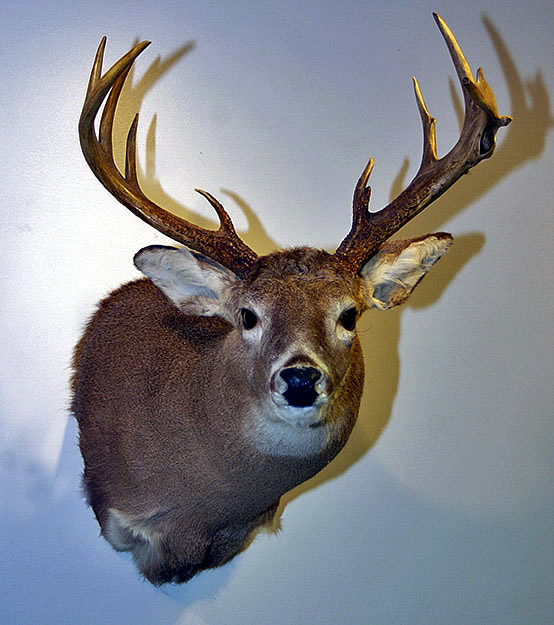 deer mount for sale