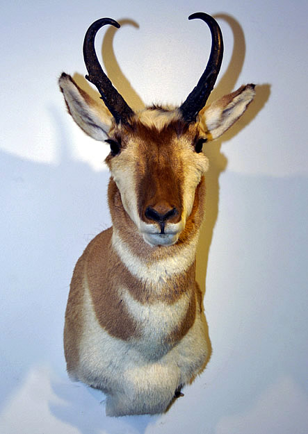 antelope head for sale