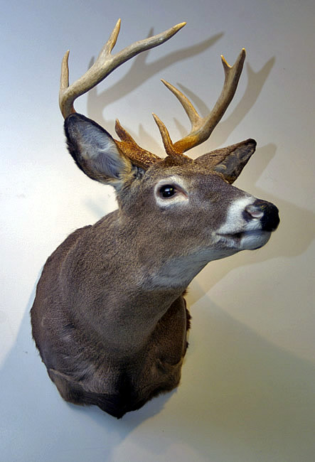 whitetail head mount for sale
