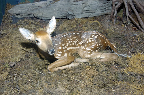 Fawn Deer For Sale