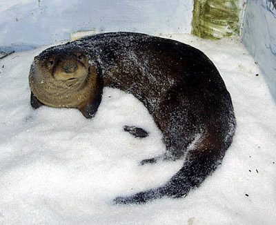Otter in Snow