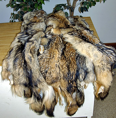 tanned coyote hides