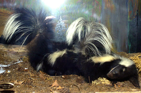 skunks for sale