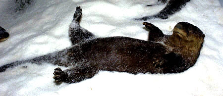ottor lying in snow