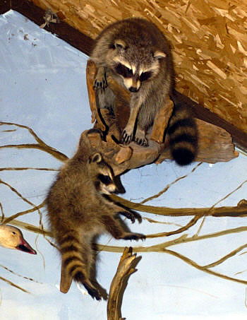 raccoons in tree for sale